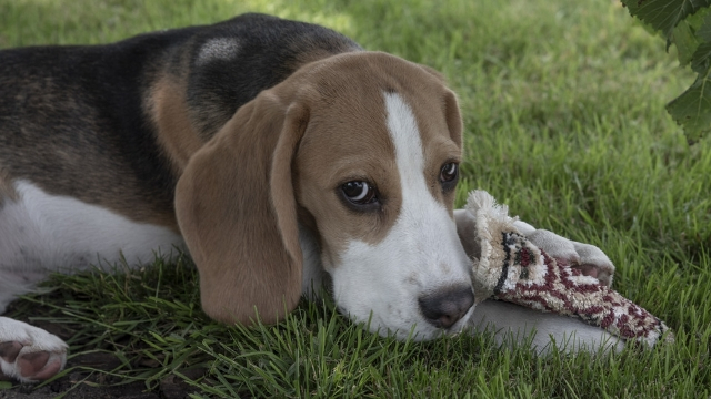 beagle dog breeds most likely to run away