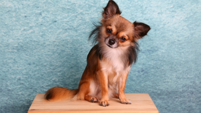 chihuahua dog breeds most likely to run away
