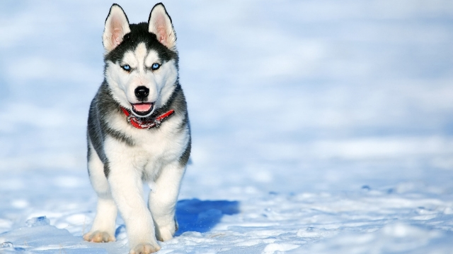 husky dog breeds most likely to run away