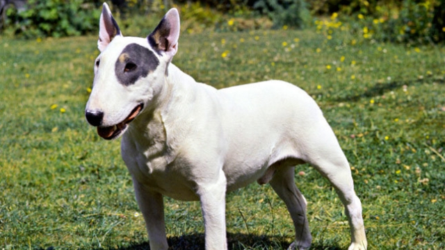 bull terrier best dog breeds for kids