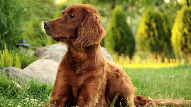irish setter best dog breeds for kids