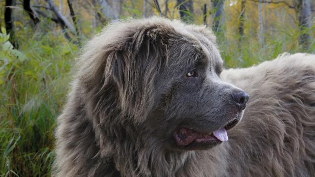 newfoundland best dog breeds for kids
