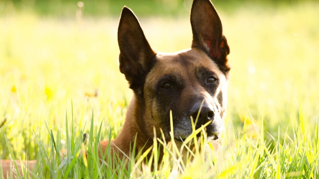 belgian malinois best guard dog breeds