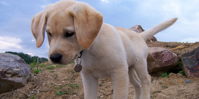 labrador cute dog breeds
