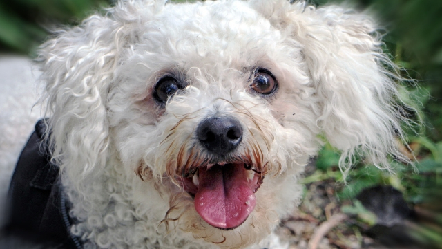 bichon-frise-best-dogs-for-first-time-owners