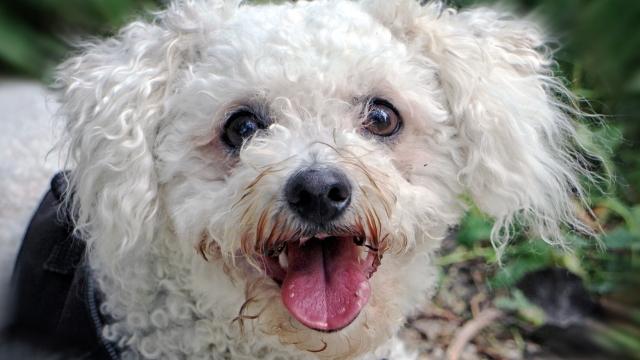 hypoallergenic dogs bichon frise