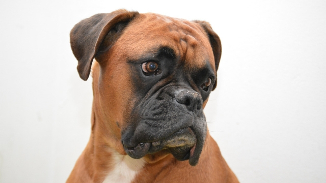 boxer best guard dog breeds