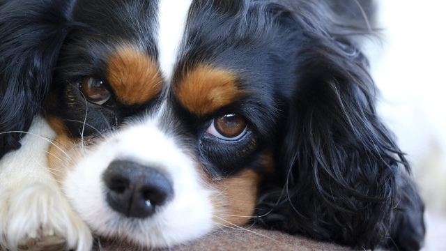 cavalier-king-charles-spaniel-best-dogs-for-first-time-owners