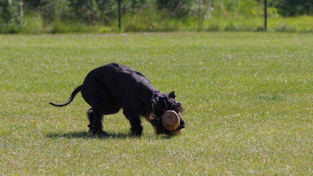 giant schnauzer best guard dog breeds