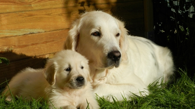 golden-retriever-best-dogs-for-first-time-owners