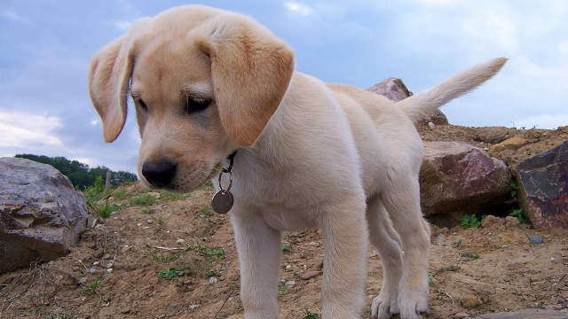 labrador-best-dogs-for-first-time-owners