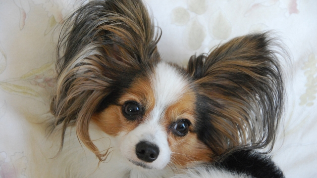 papillon-best-dogs-for-first-time-owners