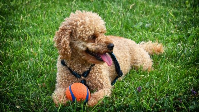 poodle best dog breeds for kids