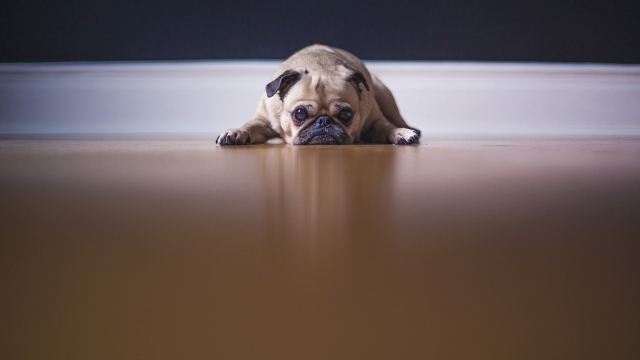 pug-best-dogs-for-first-time-owners