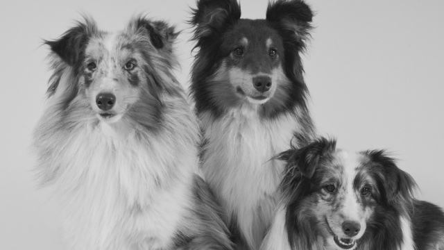 shetland-sheepdog-best-dogs-for-first-time-owners