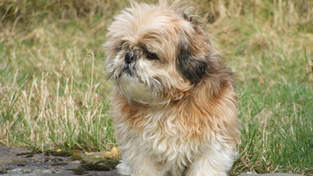 shih-tzu-best-dogs-for-first-time-owners