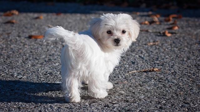 hypoallergenic dogs maltese dog