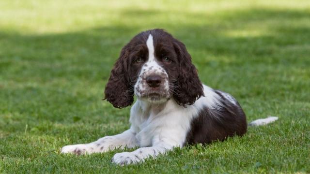 norfolk spaniel extinct dog breeds