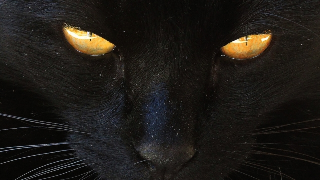 american culture are black cats bad luck