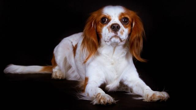 english bulldog best dog breeds for apartments