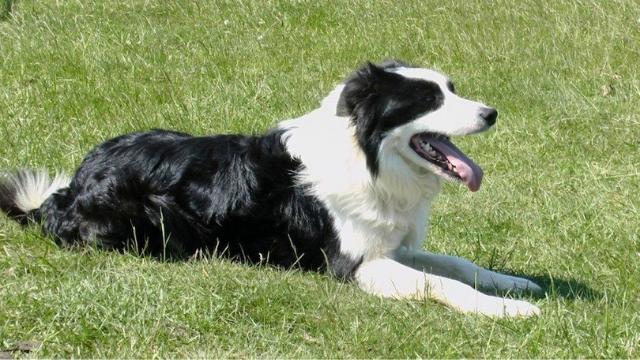 cumberland sheepdog extinct dog breeds