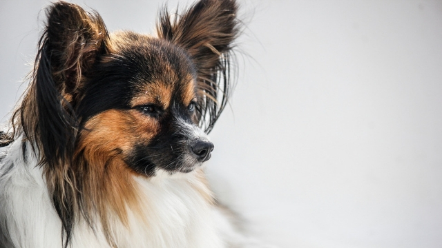papillon smartest dog breeds