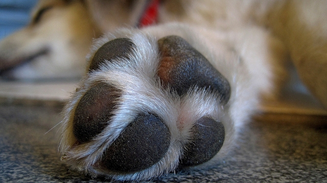 paws sweat dog facts