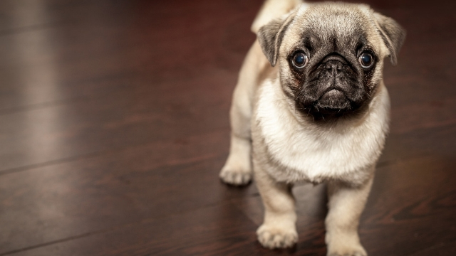 pug best dog breeds for apartments