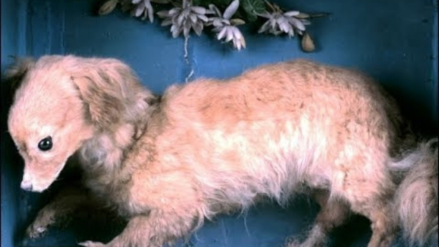 salish woolly dog extinct dog breeds