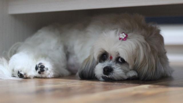 shih tzu best dog breeds for apartments