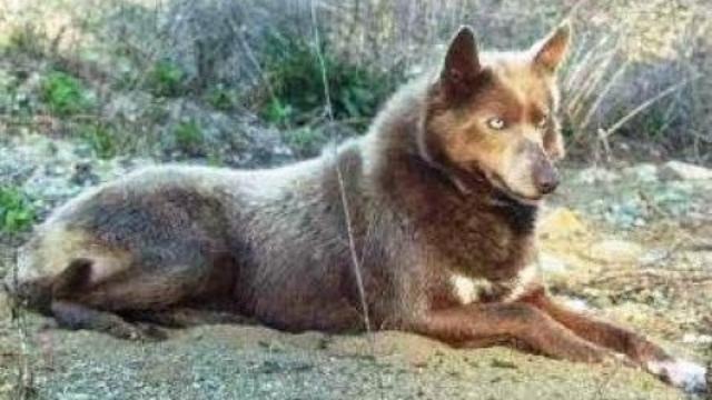 tahltan bear dog extinct dog breeds