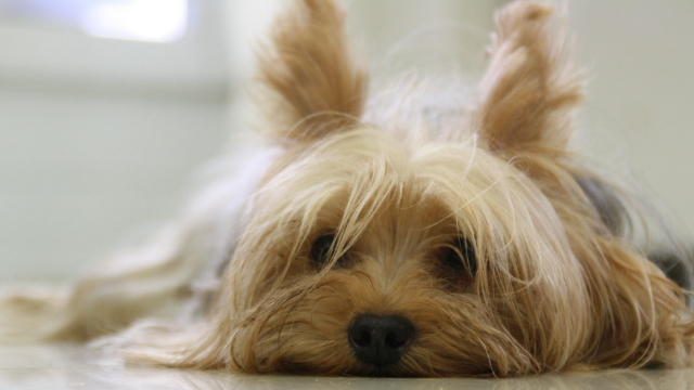 yorkshire terrier best dog breeds for apartments