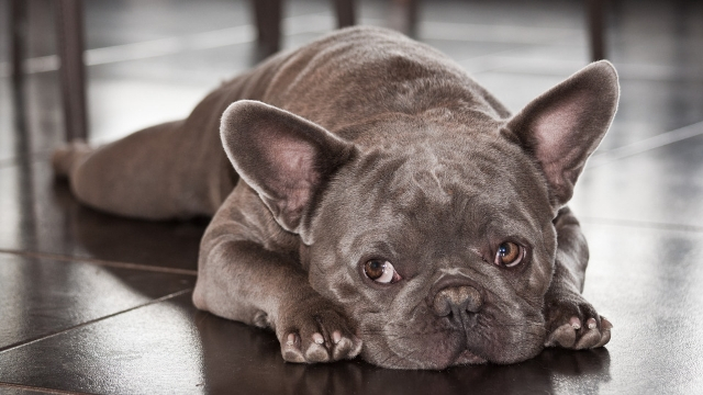 french buldog cute dog breeds