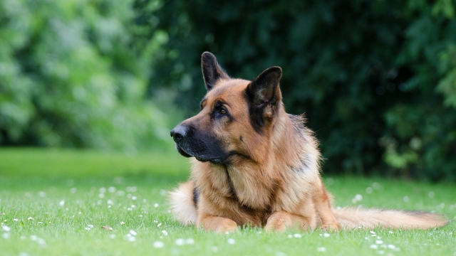 german shepherd cute dog breeds