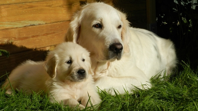 golden retriever cute dog breeds