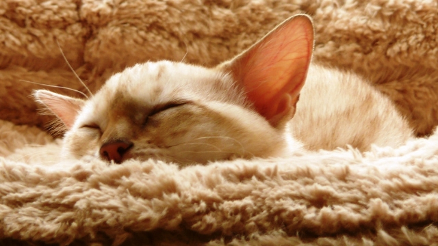 hypoallergenic cats benefits of raising a cat