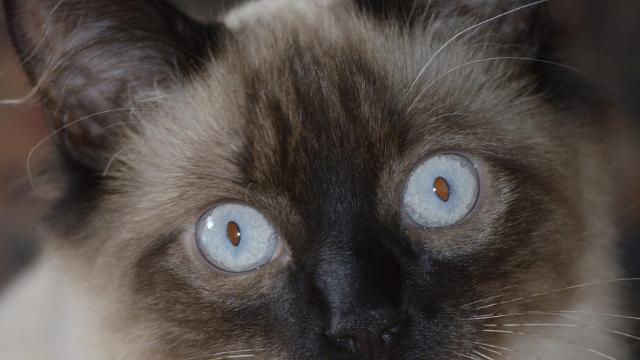hypoallergenic cats balinese