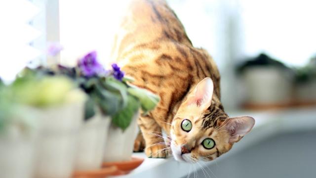 hypoallergenic cats bengal