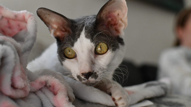 hypoallergenic cats cornish rex