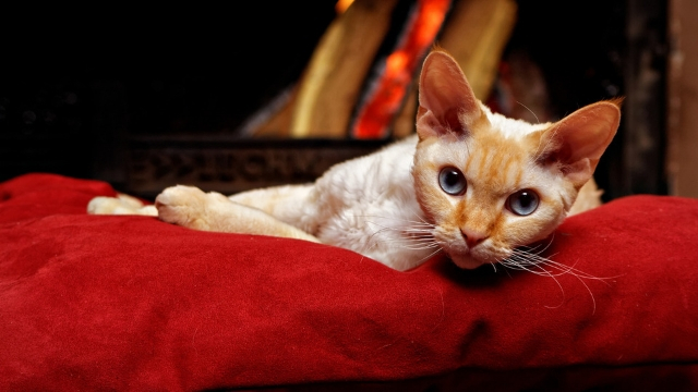 hypoallergenic cats devon rex