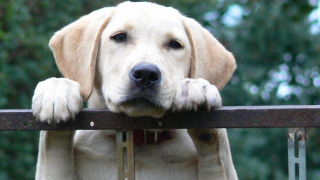 labrador best dog breeds for kids