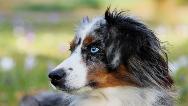 australian shepherd easiest dogs to train