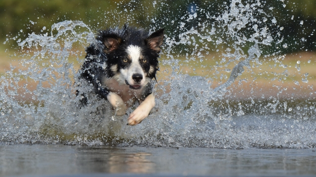 border collie easiest dogs to train