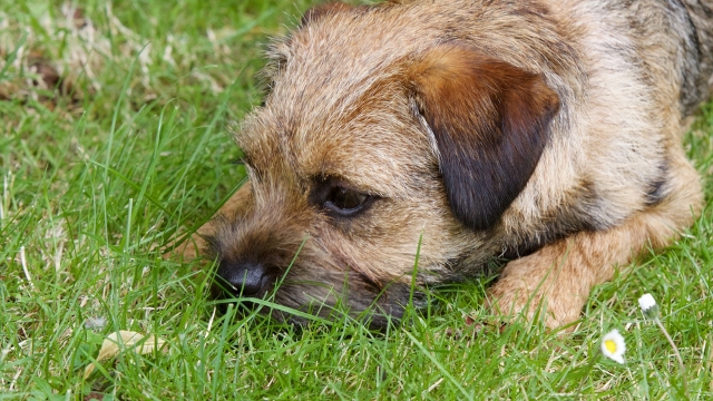 border terrier easiest dogs to train