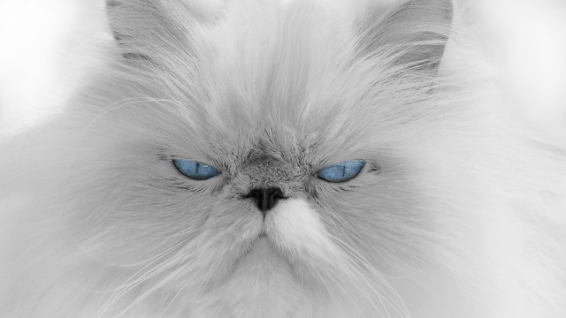 cats ears blue eyes white fur