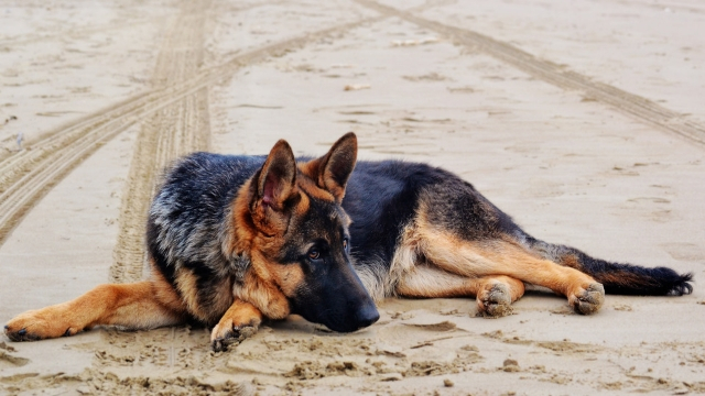 german shepherd easiest dogs to train