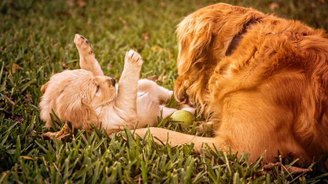 golden retriever smartest dog breeds