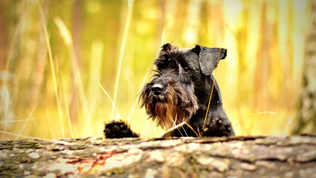 miniature schnauzer easiest dogs to train