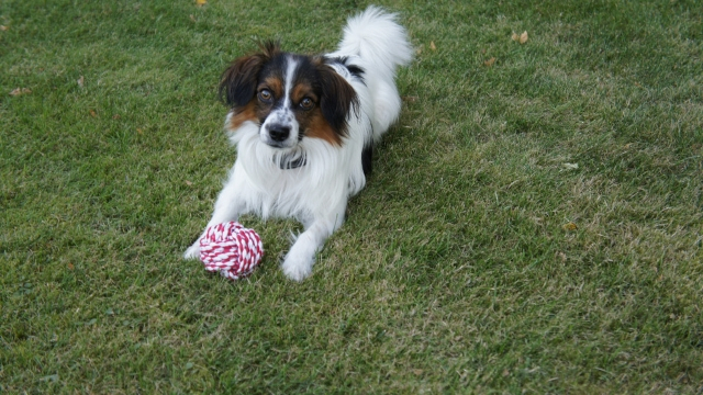 papillon easiest dogs to train