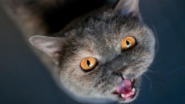 british shorthair large cat breeds